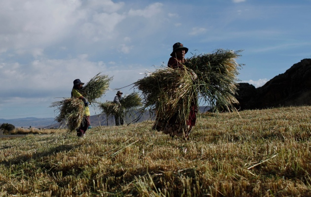 Aymaras Indigenous collect their harvest of oats in Huarina on the outskirts of La Paz, Bolivia, Monday, April 22, 2013. (AP Photo/Juan Karita)